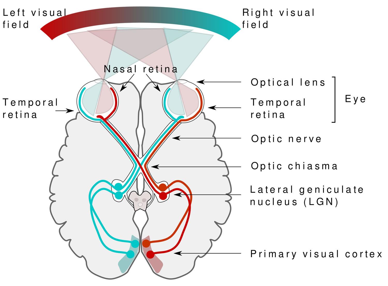 Human_visual_pathway