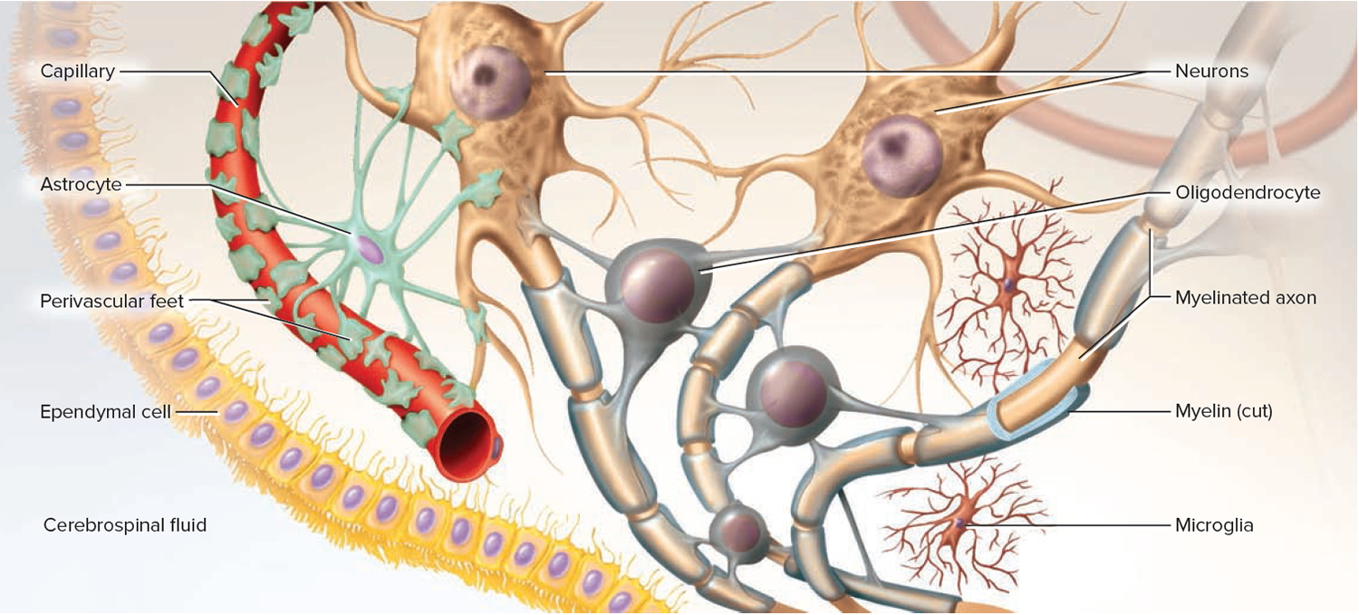 Neuroglia of the Central Nervous System