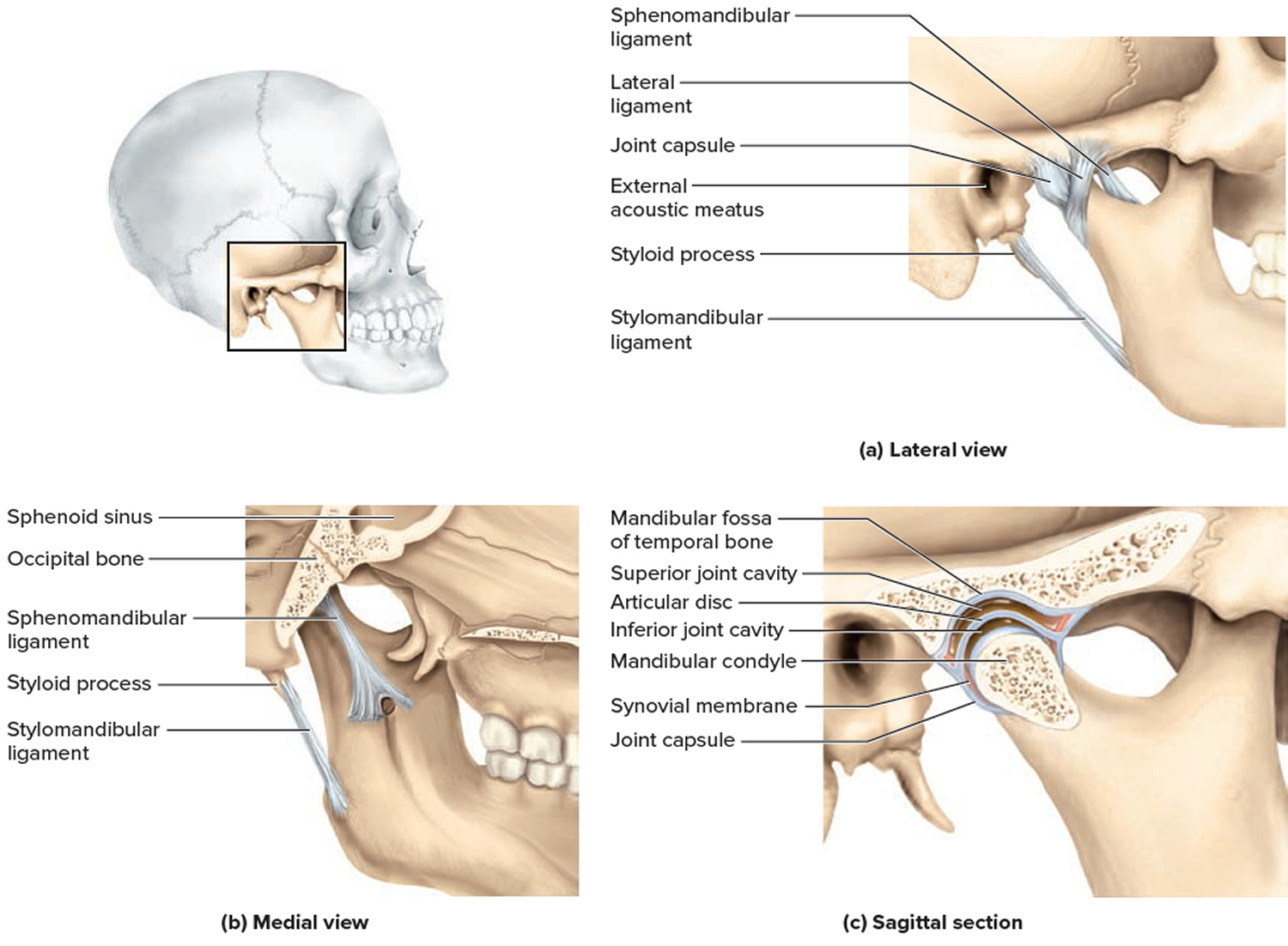 Types Classification Of Body Joints Cartilaginous Synovial Joint A synchondrosis is a joint that is connected with cartilage, like the place where the ribs meet the sternum. cartilaginous synovial joint