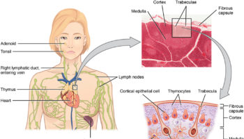 The_Location_Structure_and_Histology_of_the_Thymus