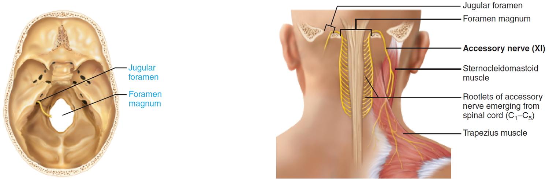 accessory nerve - cranial nerve 11