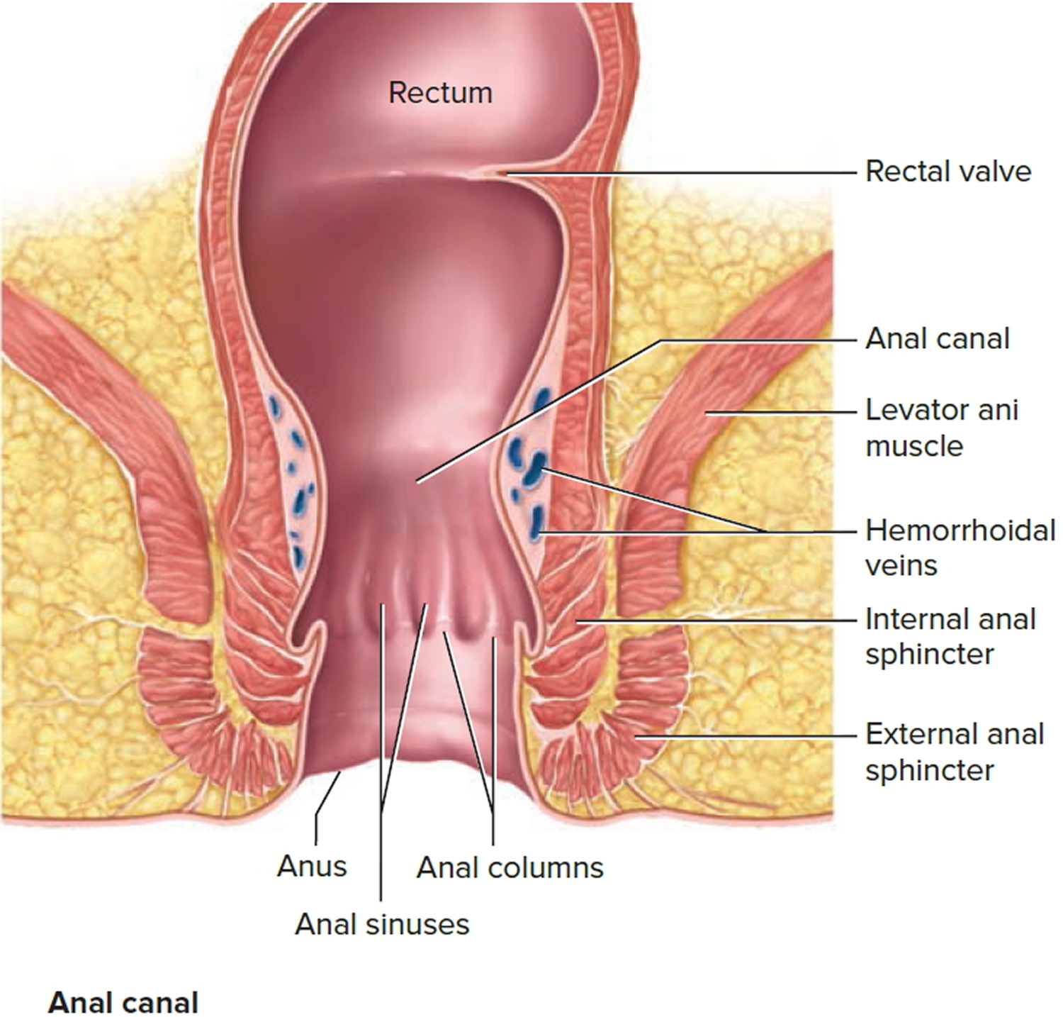 Colon line near anus