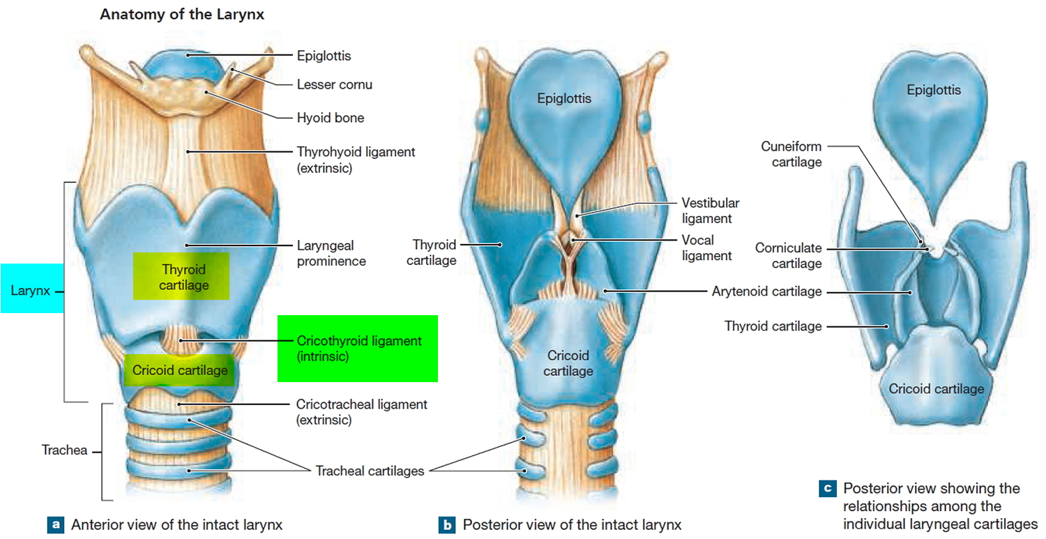 Anatomy of larynx and trachea