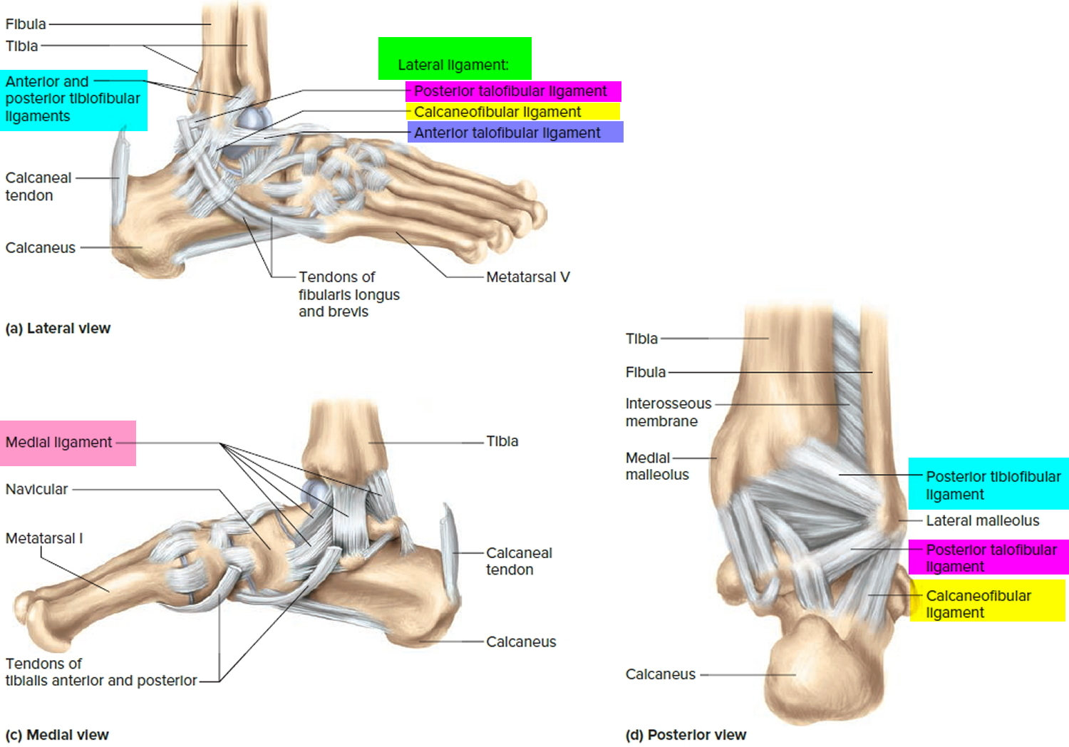 Ligaments - Thumb, Shoulder, Elbow, Hip, Knee and Ankle Ligaments