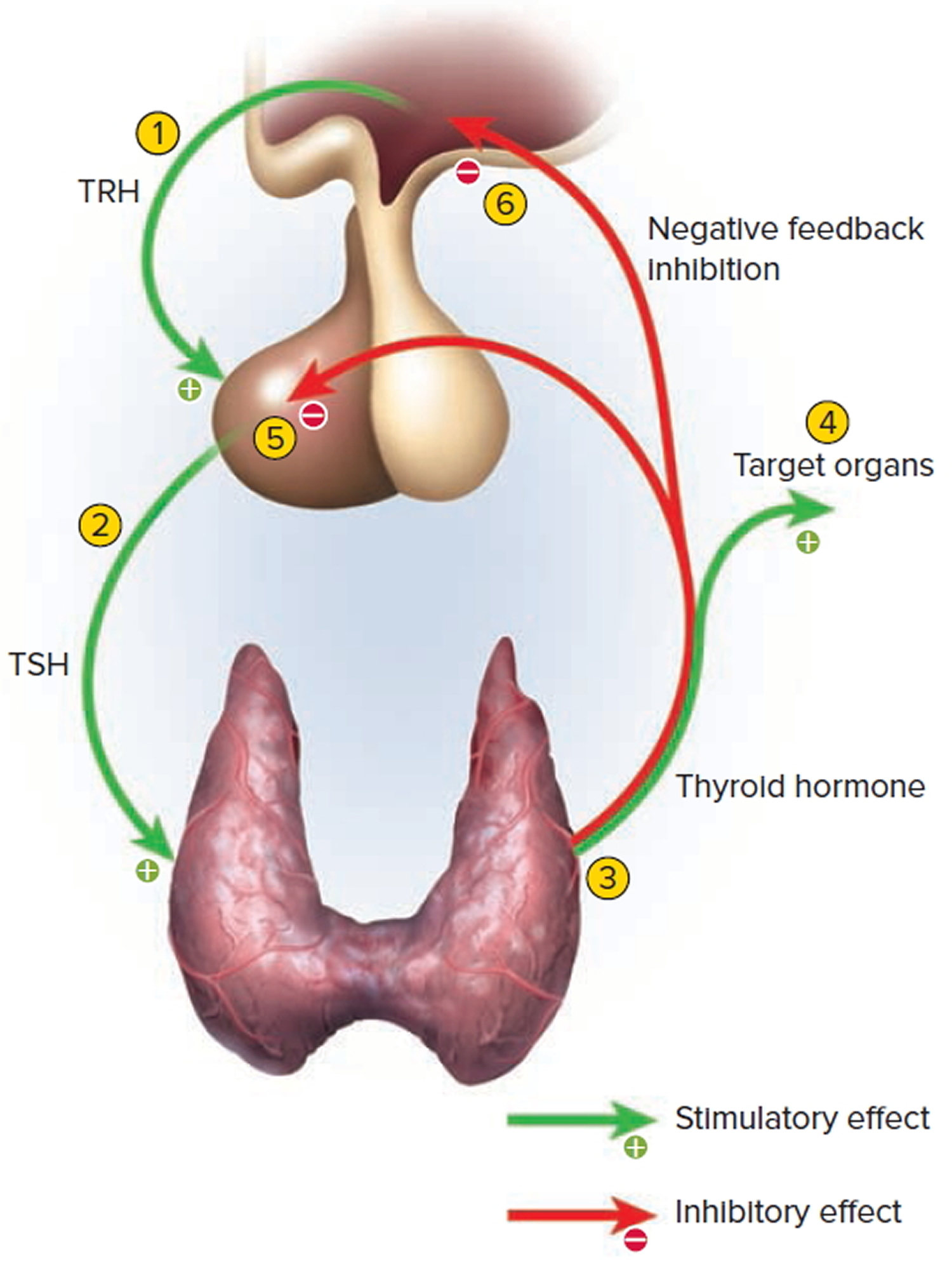 anterior pituitary and thyroid gland feedback mechanism