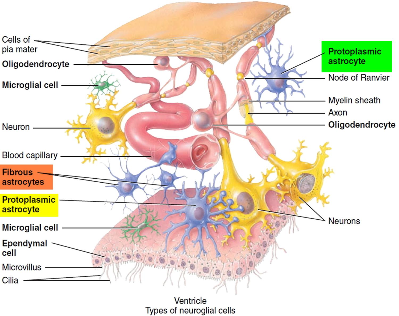 astrocytes