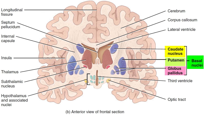 basal nuclei of brain