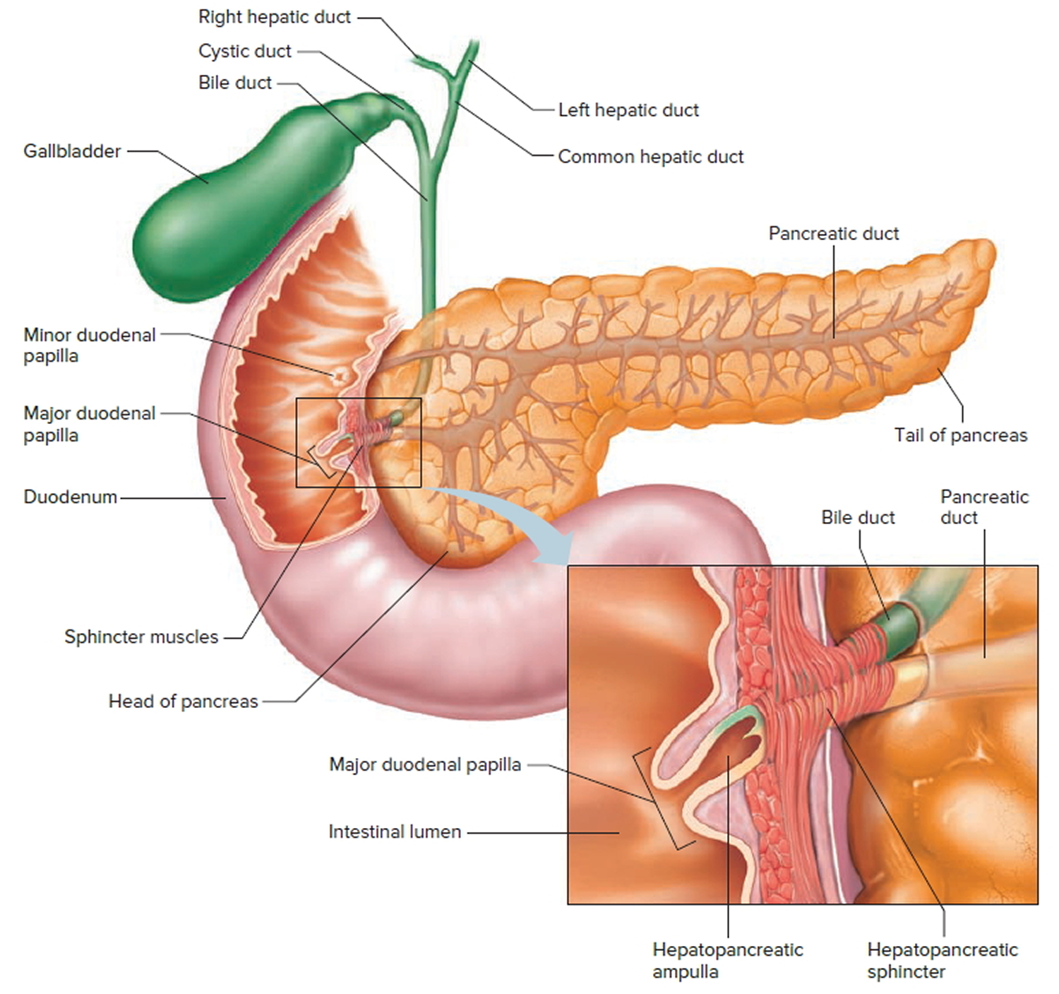 bile duct and pancreatic duct opening into the duodenum