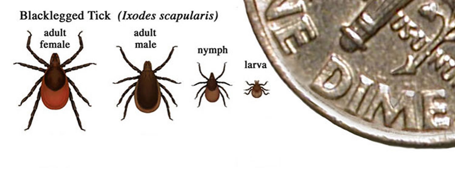 blacklegged tick of lyme disease - life stages