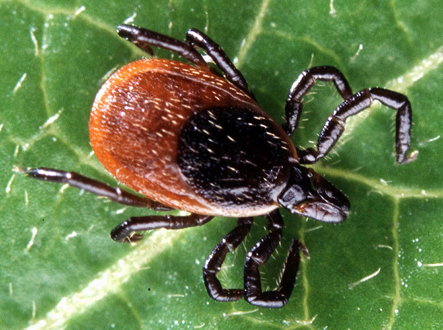 blacklegged tick of lyme disease
