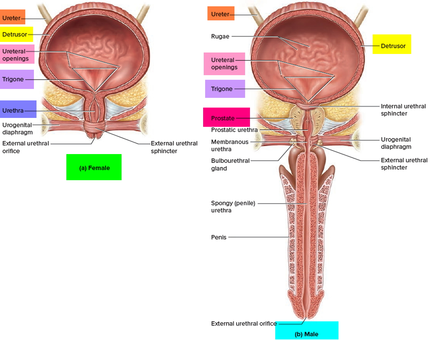 Urinary Bladder Location Function And Problems