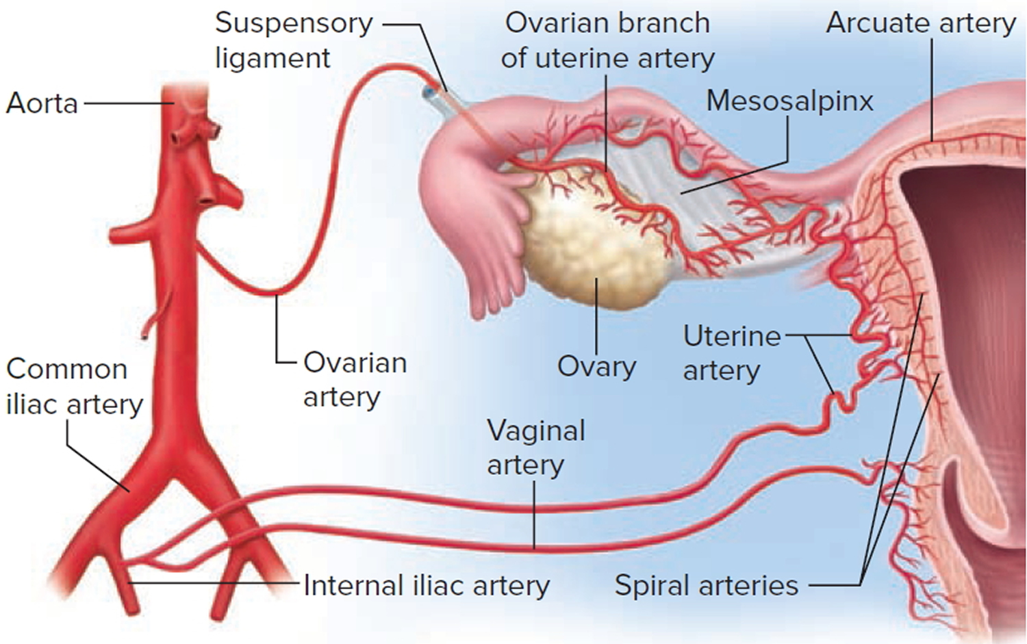 Anatomy of pregnant uterus