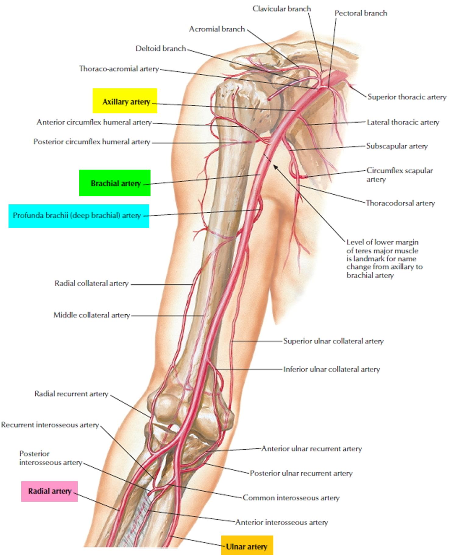 brachial artery branches