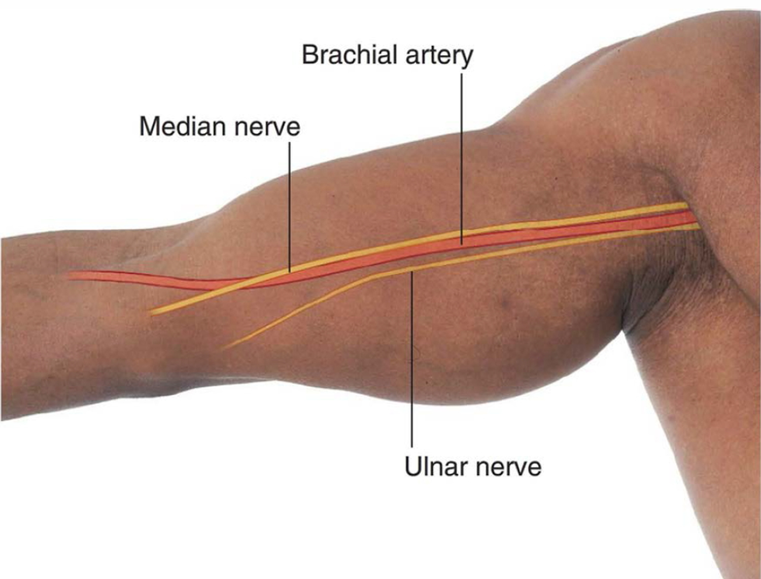 brachial artery location in the arm