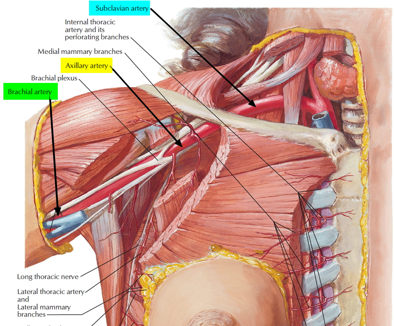 Brachial Artery And Deep Brachial Artery Location Pulse Function