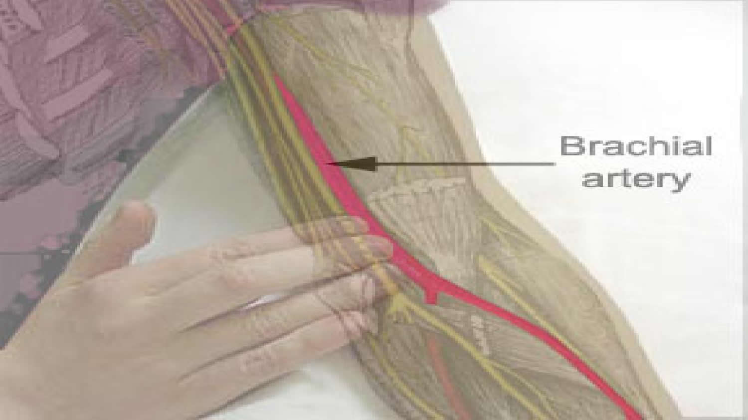 brachial_artery_location