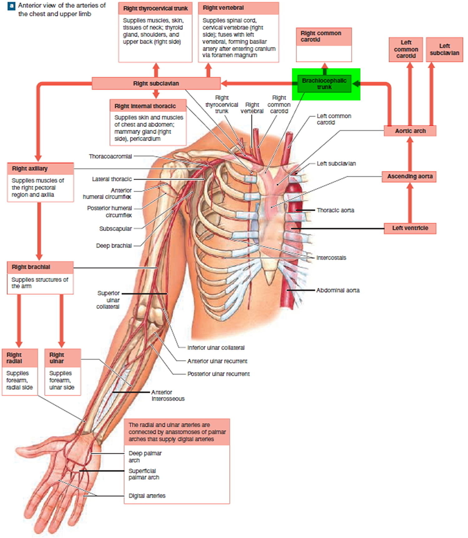 Brachiocephalic Artery and its branches - Function and Blood Supply