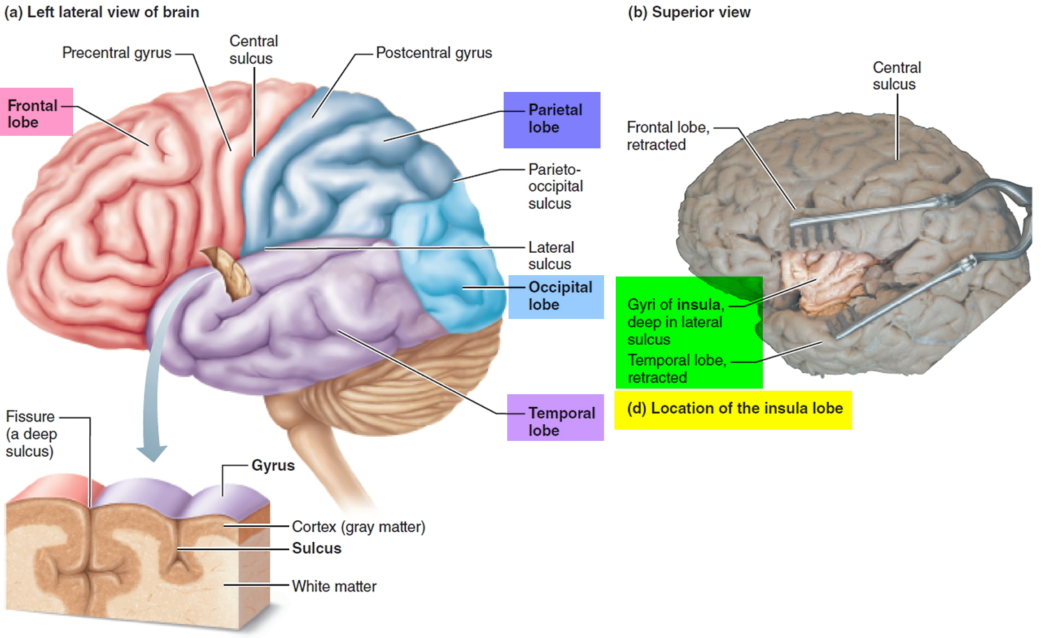 Human brain anatomy and function cerebrum brainstem cerebral cortex of the brain ccuart