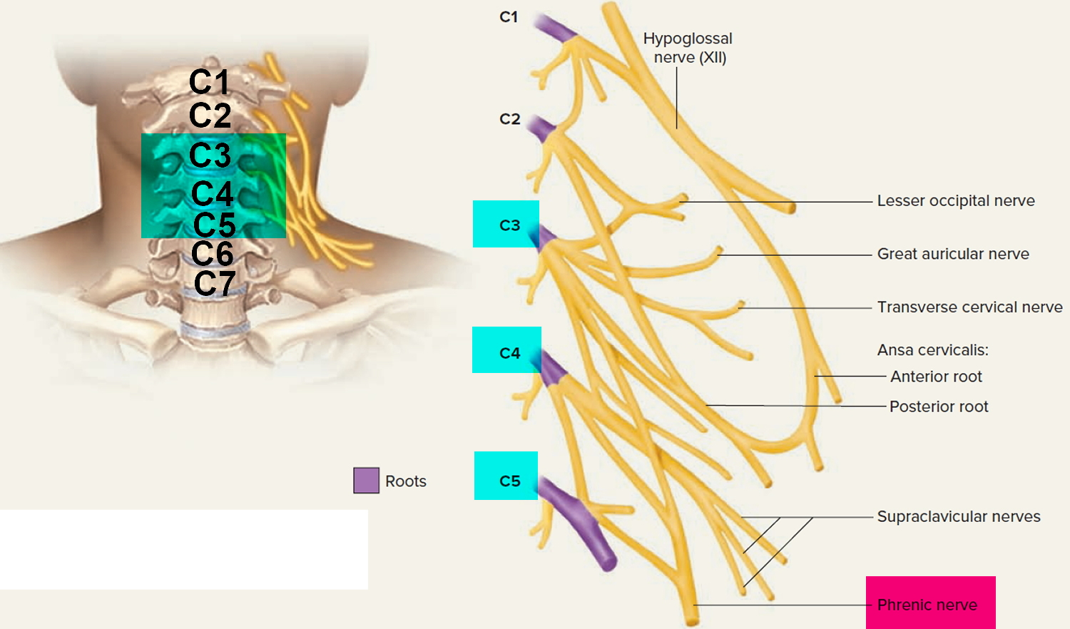 cervical plexus and phrenic nerve