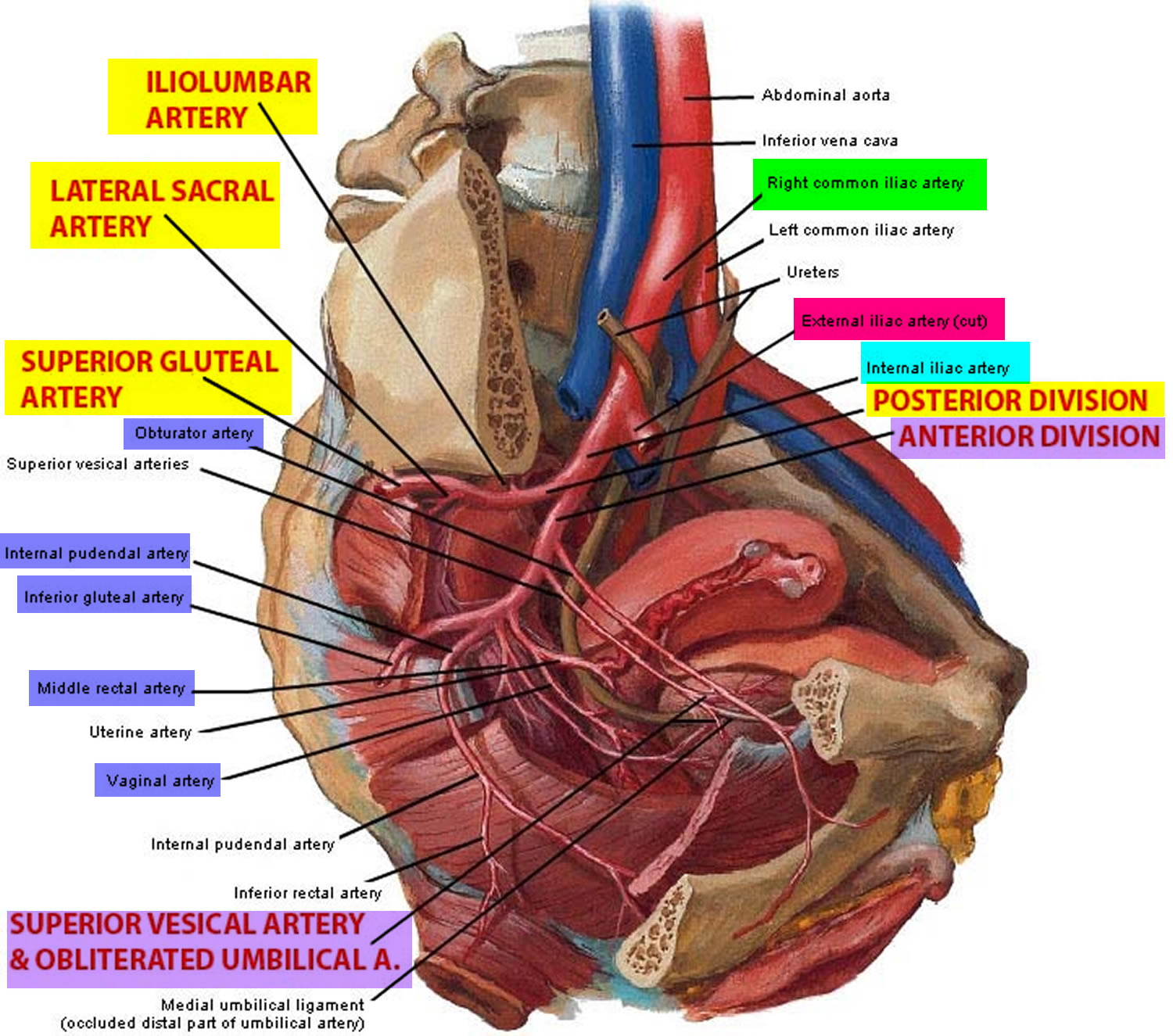 common iliac artery branches