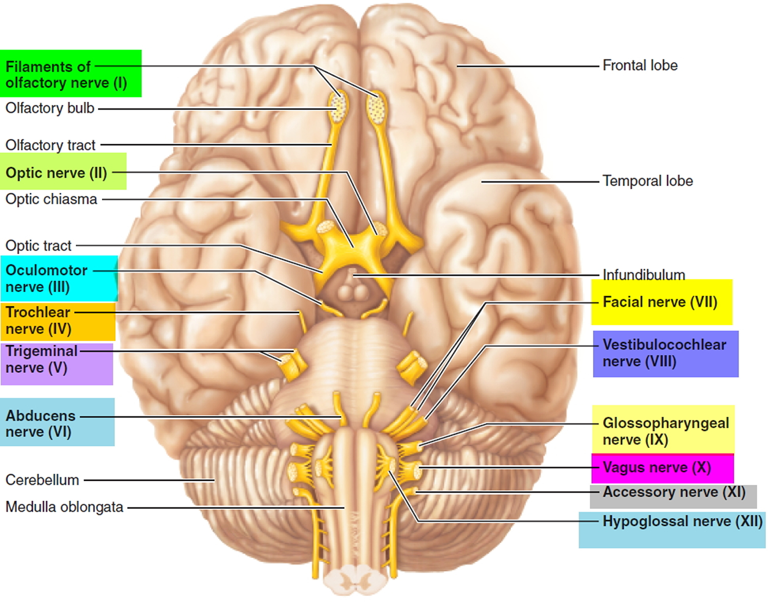 Cranial Nerves Names Of The 12 Cranial Nerves Mnemonic And Function
