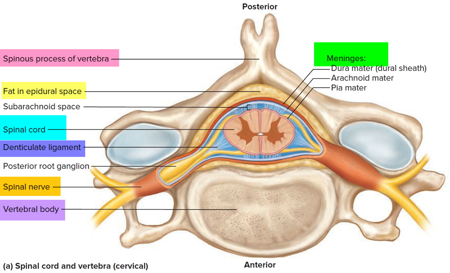 the spinal cord Cerebrospinal fluid (csf) cushions the brain and spinal cord it is a clear, water-like fluid, also called spinal fluid, found between the arachnoid and pia mater it is a clear, water-like fluid, also called spinal fluid, found between the arachnoid and pia mater.
