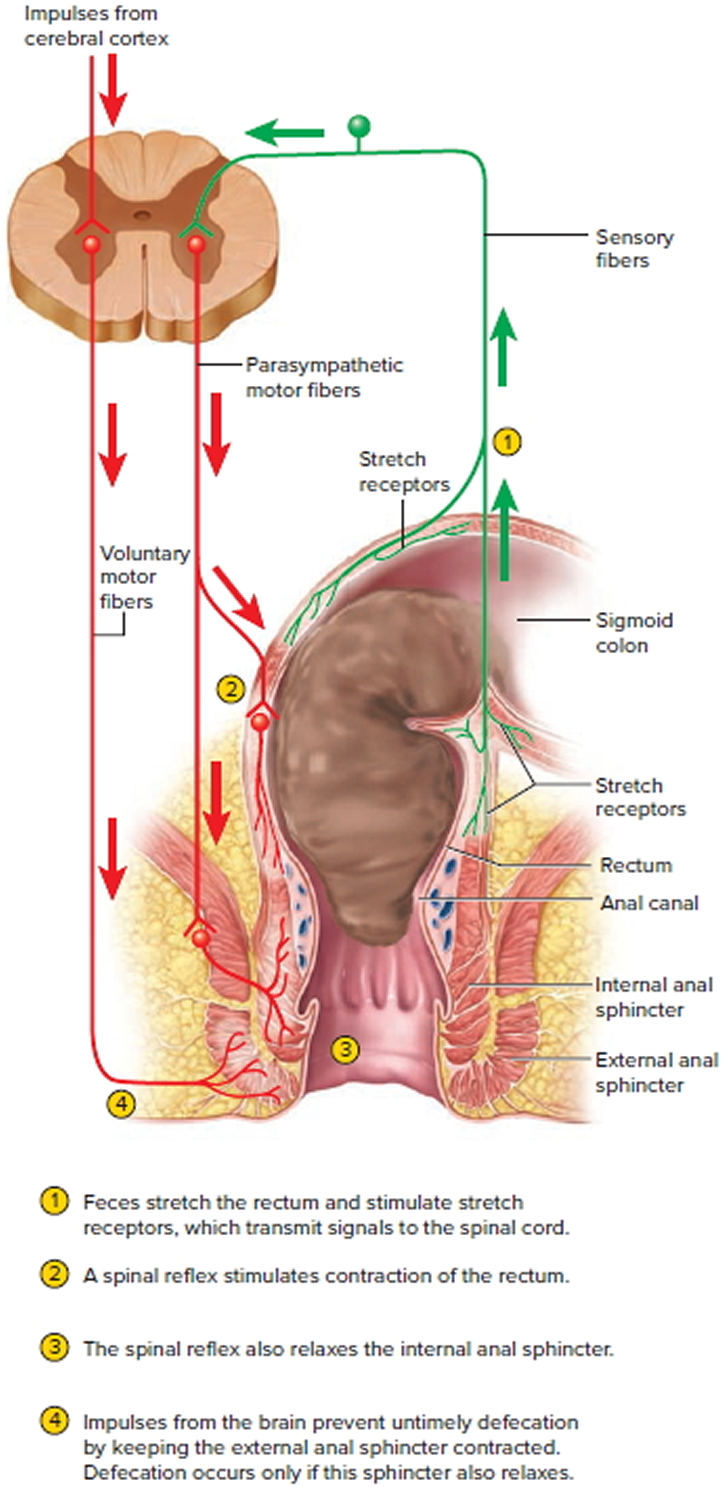 internal-anal-sphincter-innervation