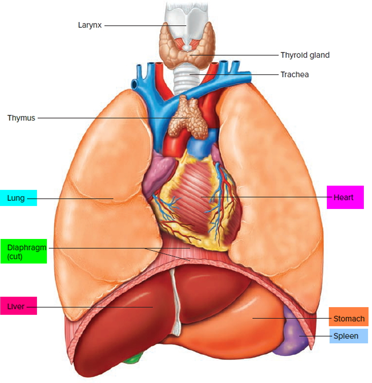 Diaphragm Muscle Diaphragm Location Function Of The Diaphragm