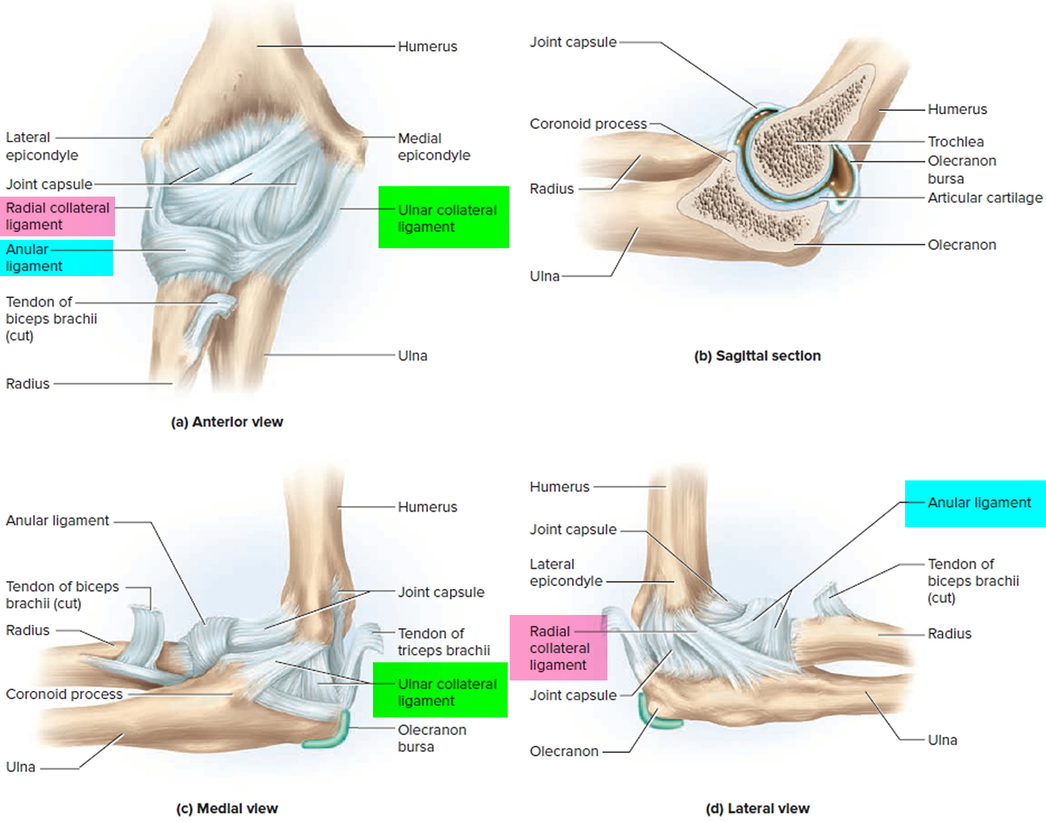 Ligaments Thumb Shoulder Elbow Hip Knee And Ankle Ligaments