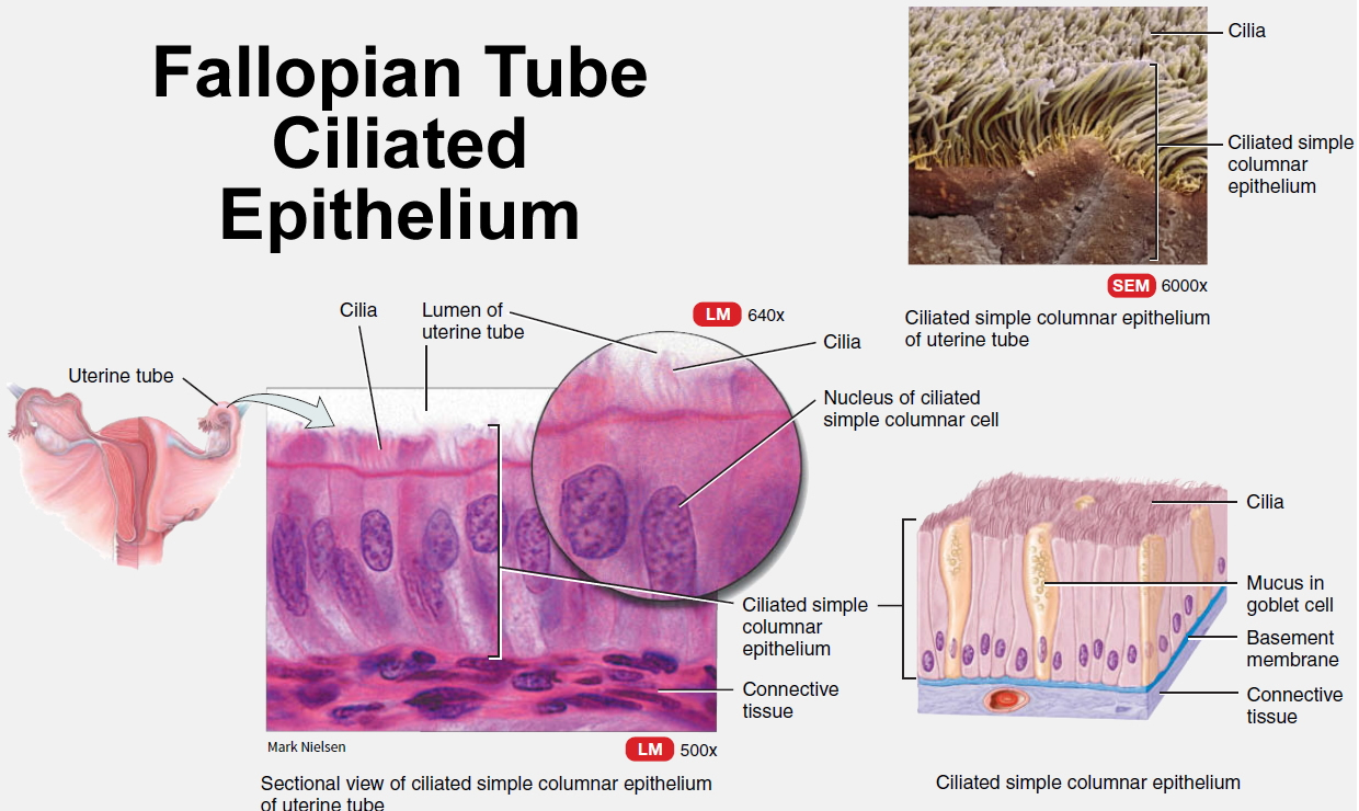 fallopian tube ciliated epithelium