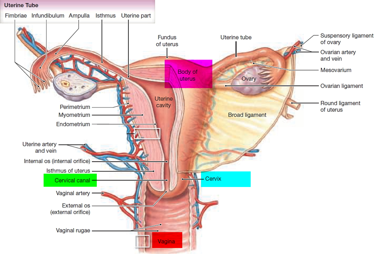 Fallopian Tube Function Pregnancy Blocked Fallopian Tube