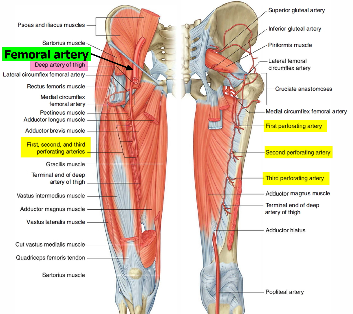 femoral artery and deep artery of the thigh