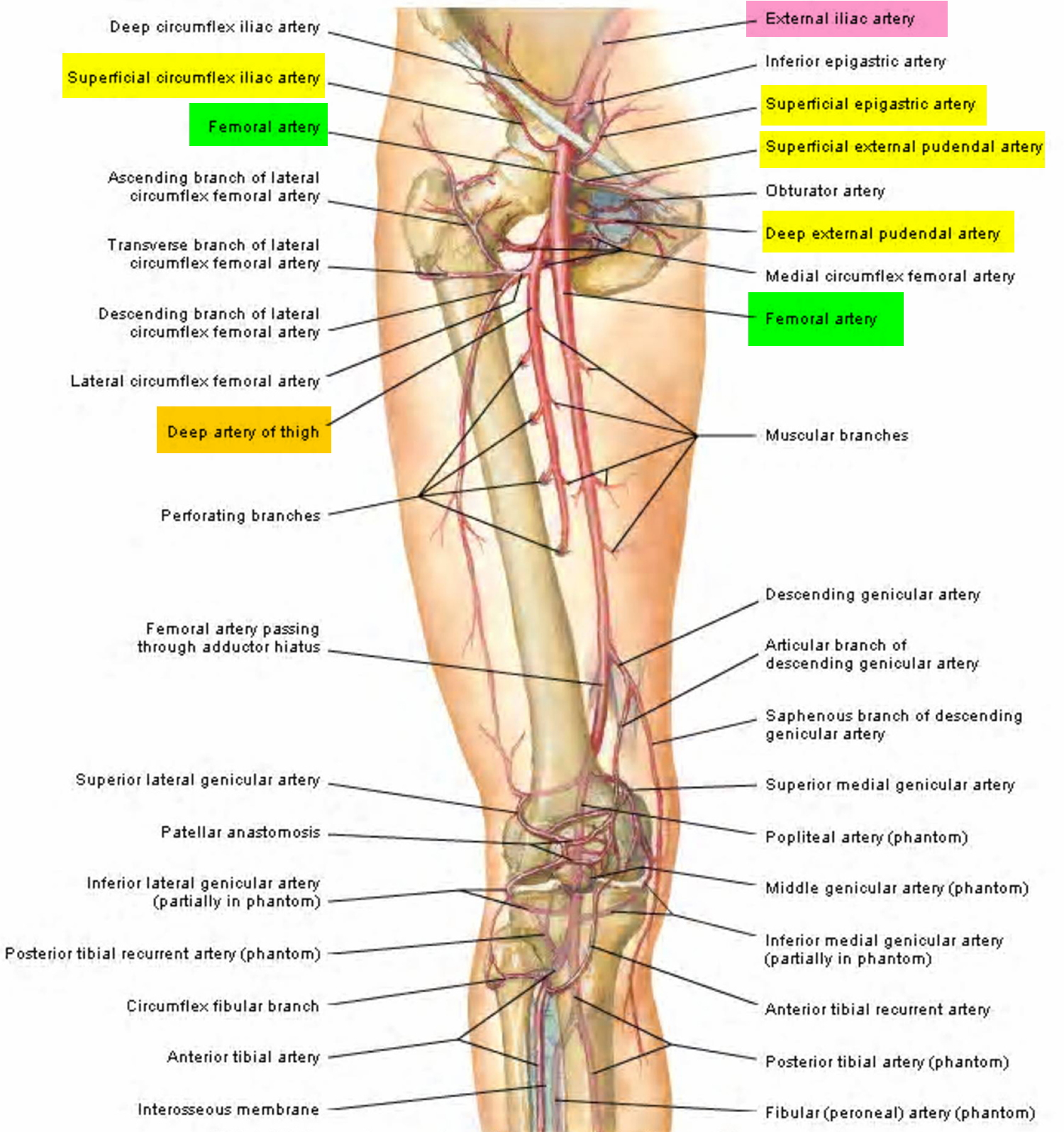 Femoral Artery - Common, Superficial, Deep - Location & Function
