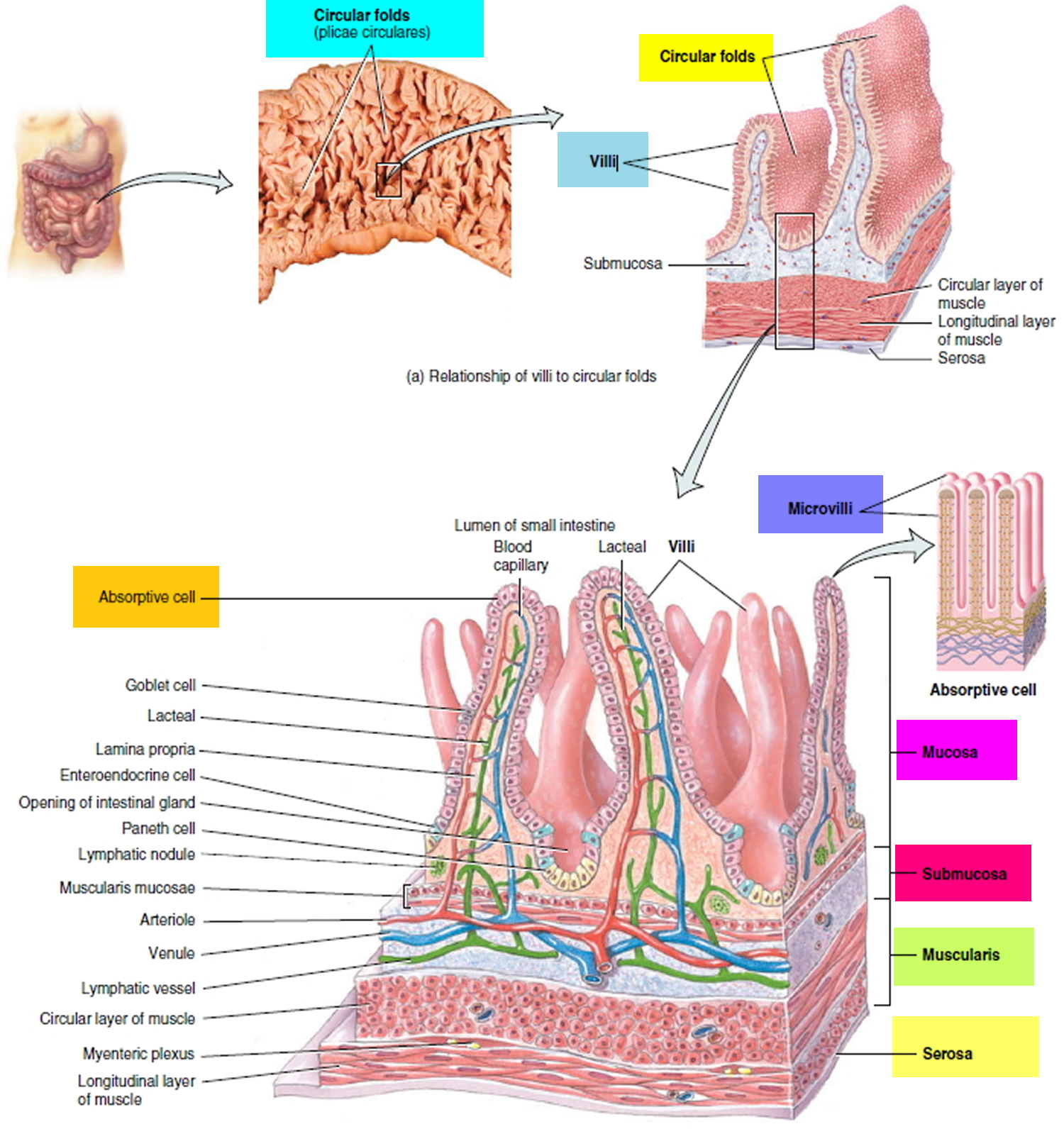 Small Intestine Location, Function, Length and Parts of the Small ...