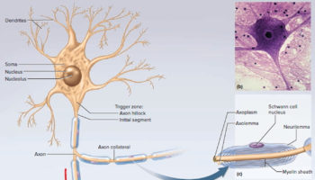 general structure of neuron