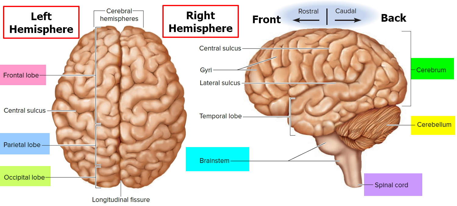 Human Brain Anatomy And Function Cerebrum Brainstem
