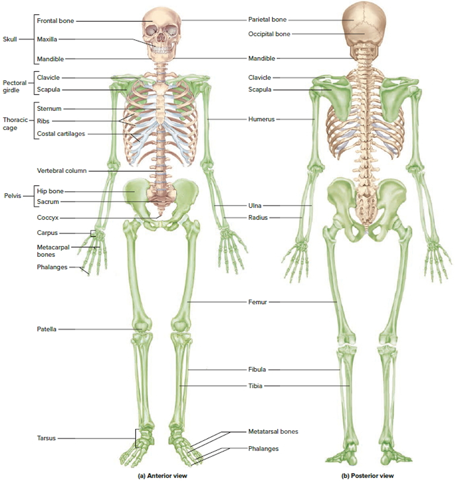 Structure and functions of the human skeleton. Structure of the skeleton