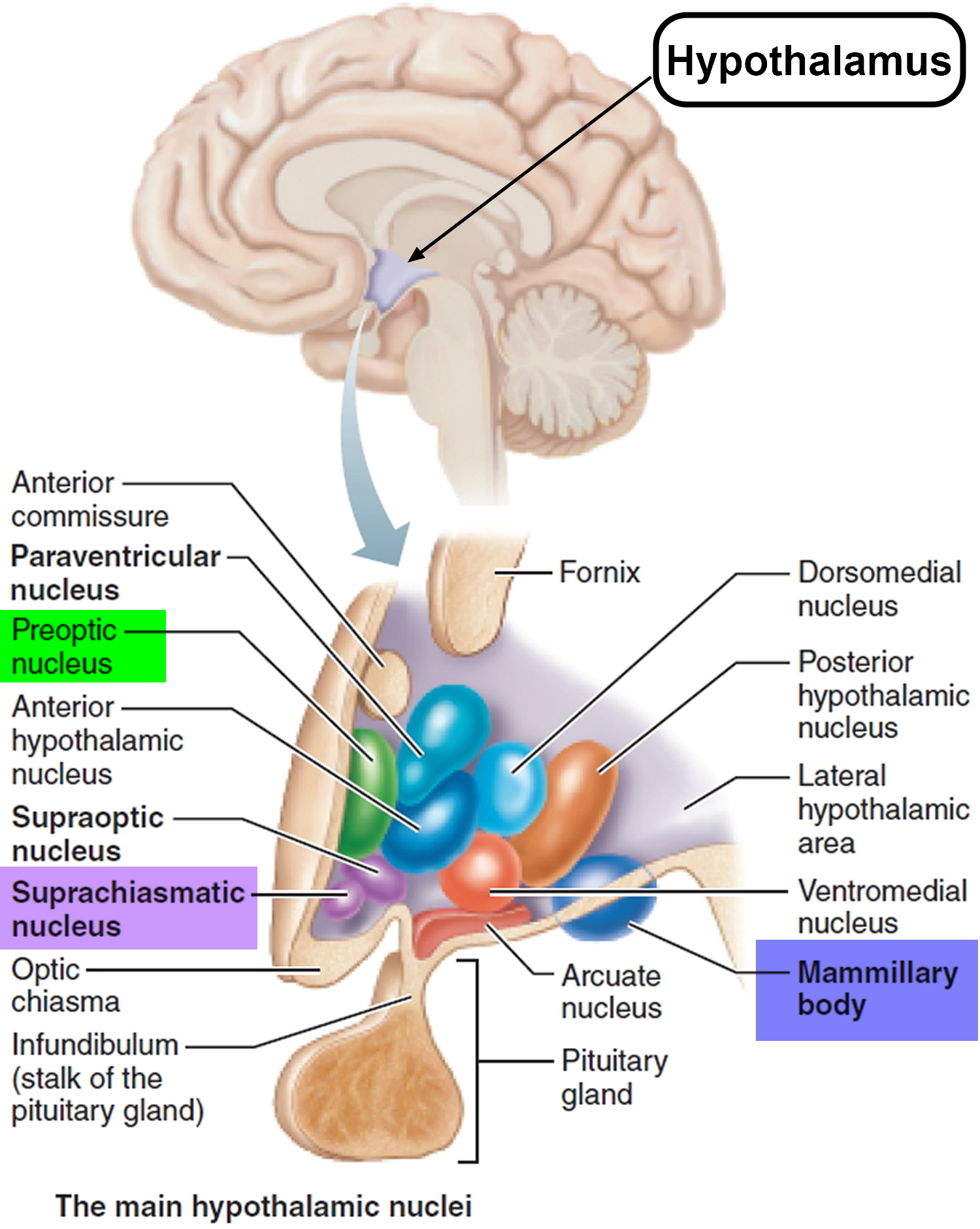 hypothalamus - suprachiasmatic nucleus