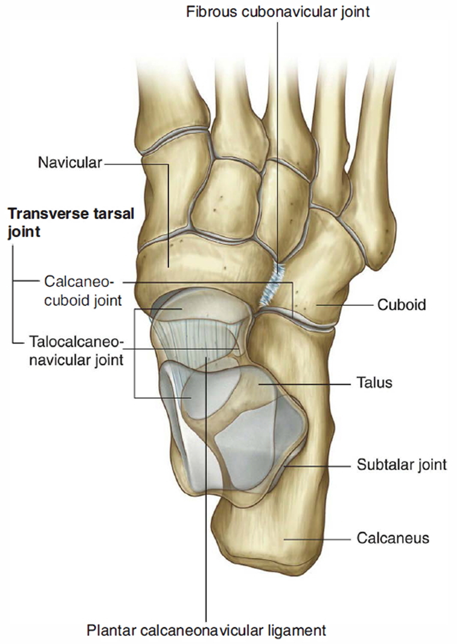 intertarsal joint