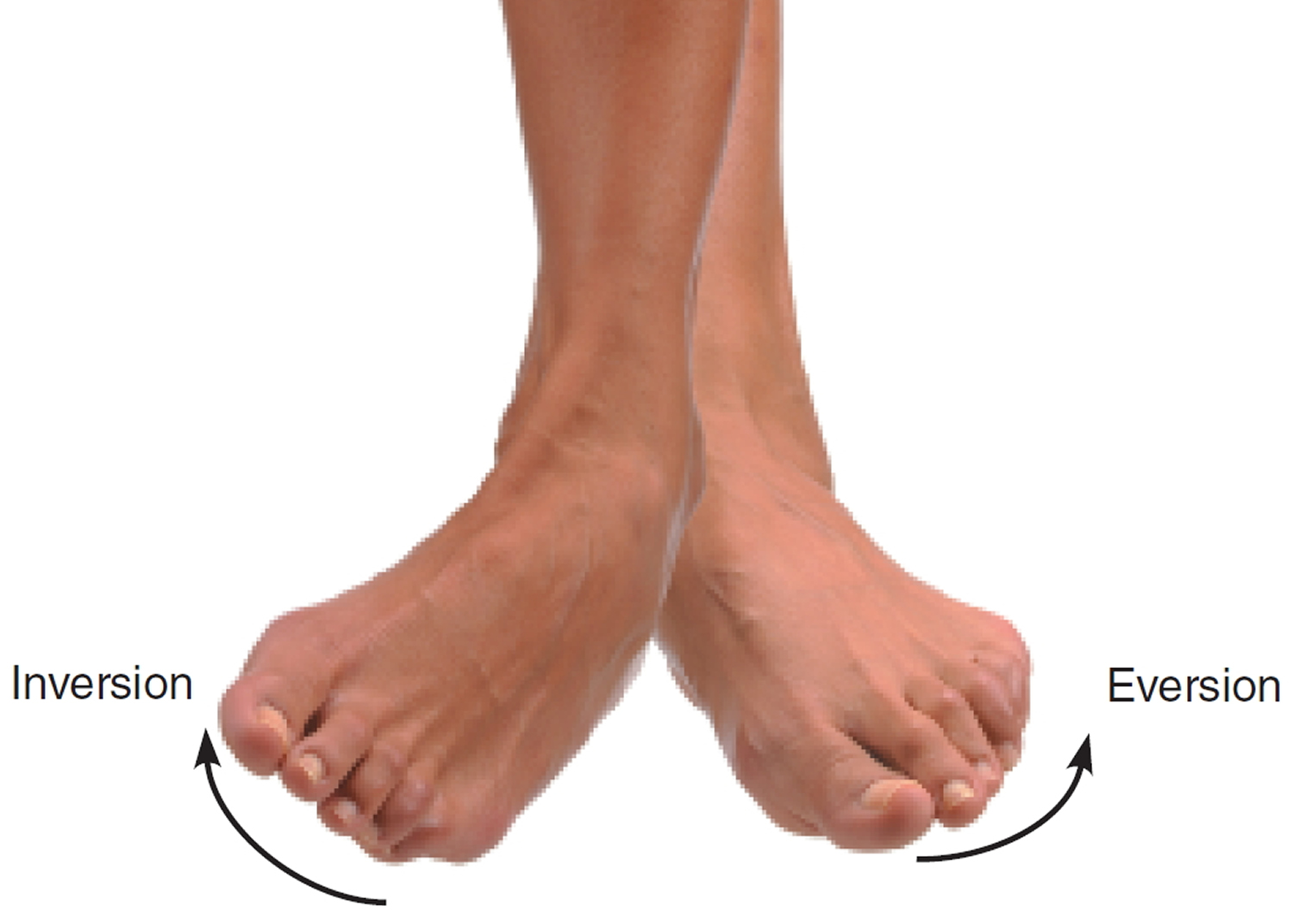 inversion and eversion of the foot