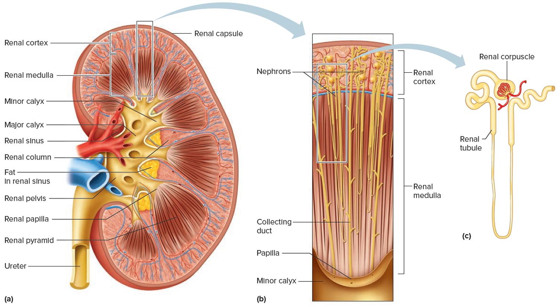 Kidney - Location, Function, Disease, Transplant & Kidney Problems