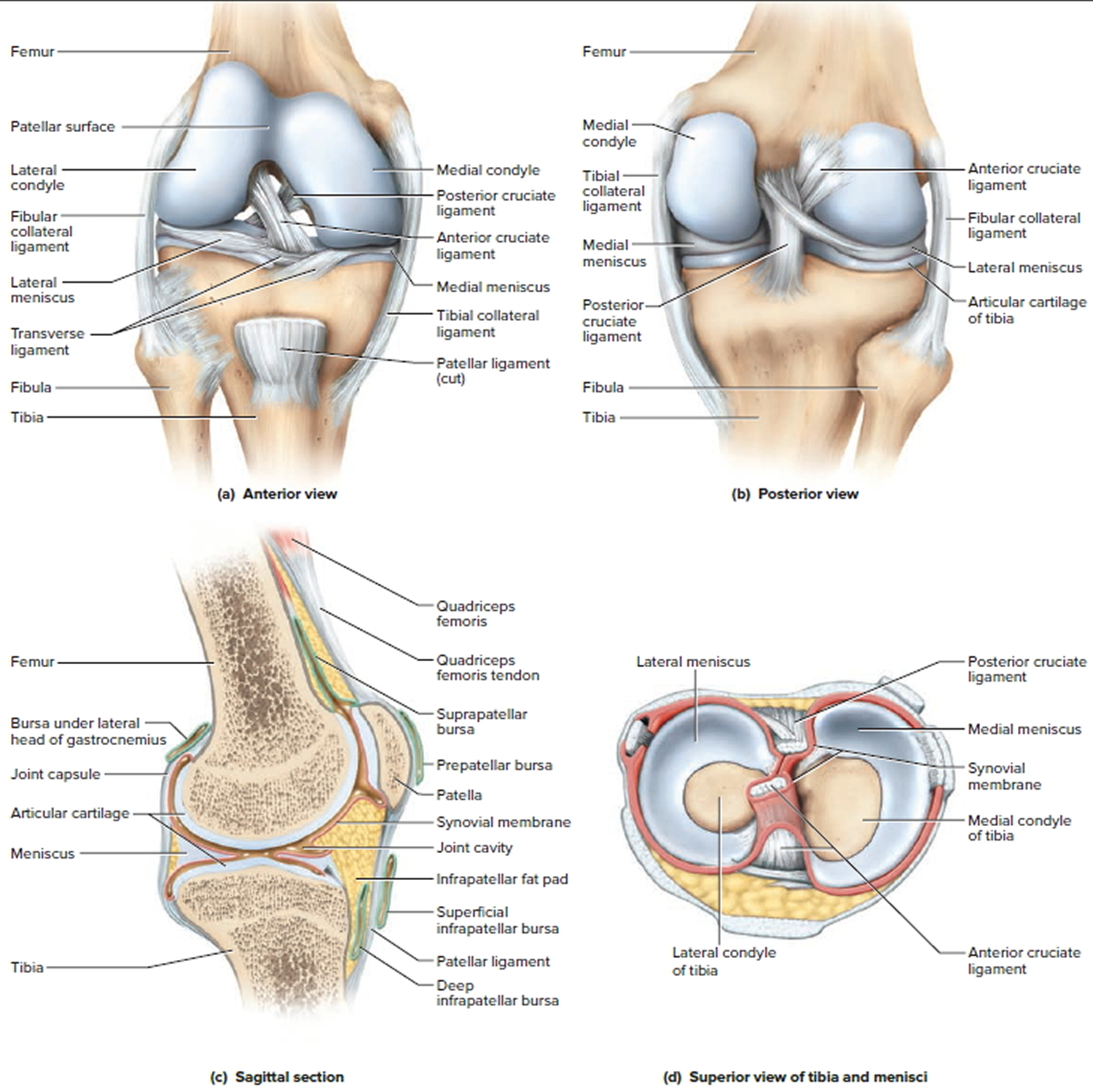 Types Classification Of Body Joints Cartilaginous Synovial Joint