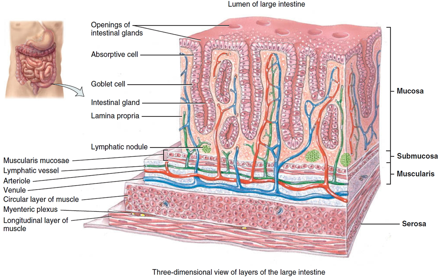 Large Intestine Anatomy, Function, Location, Length and Role in ...