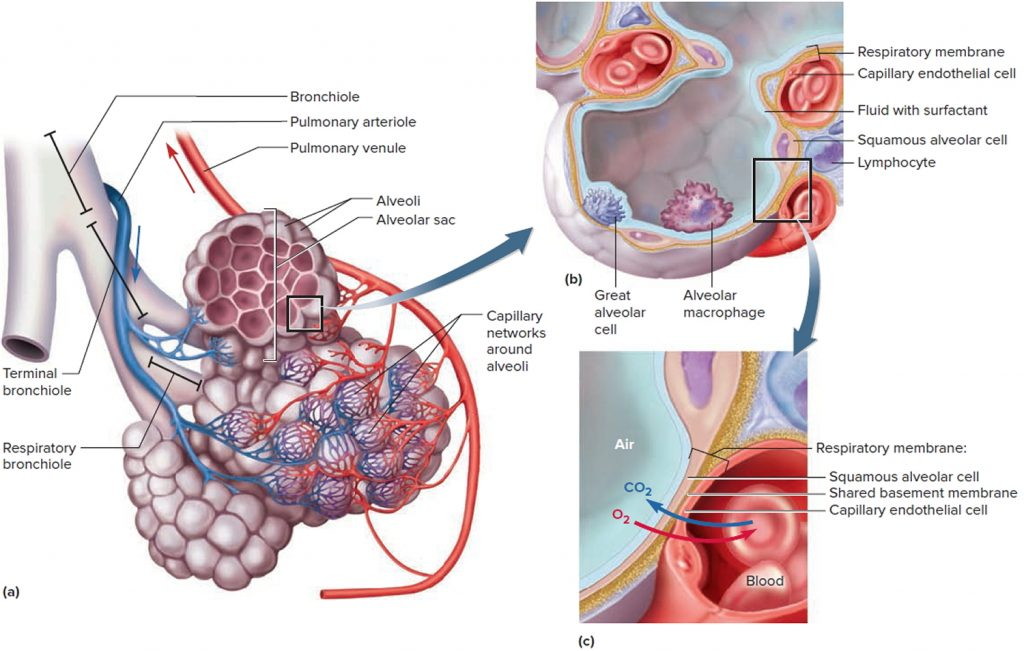 lung and alveoli