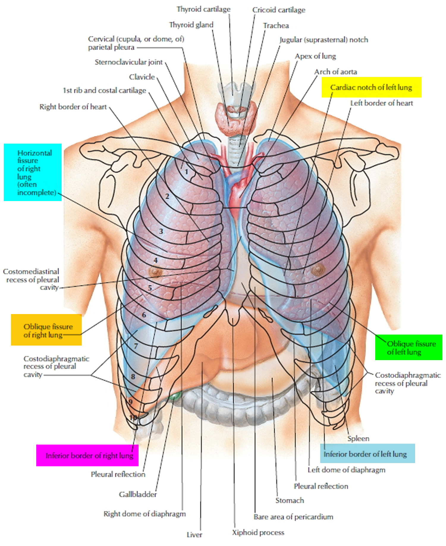Lung Anatomy Function Lung Nodule Lung Disease And Lung Infection