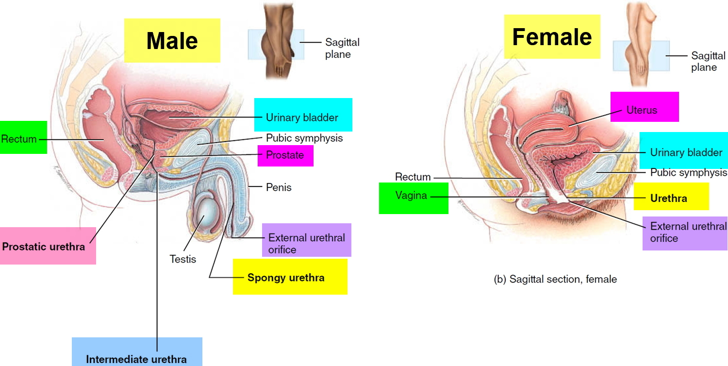 Urethra Causes Of Urethra Pain Itchy Burning Urethra Stretching