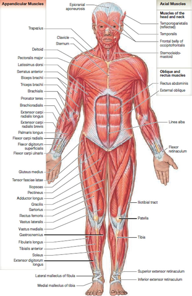 Px Trapezius Animation furthermore Muscular System A Histology And Physiology moreover Picture Labeled additionally Istock furthermore Hqdefault. on what are the muscles in muscular system