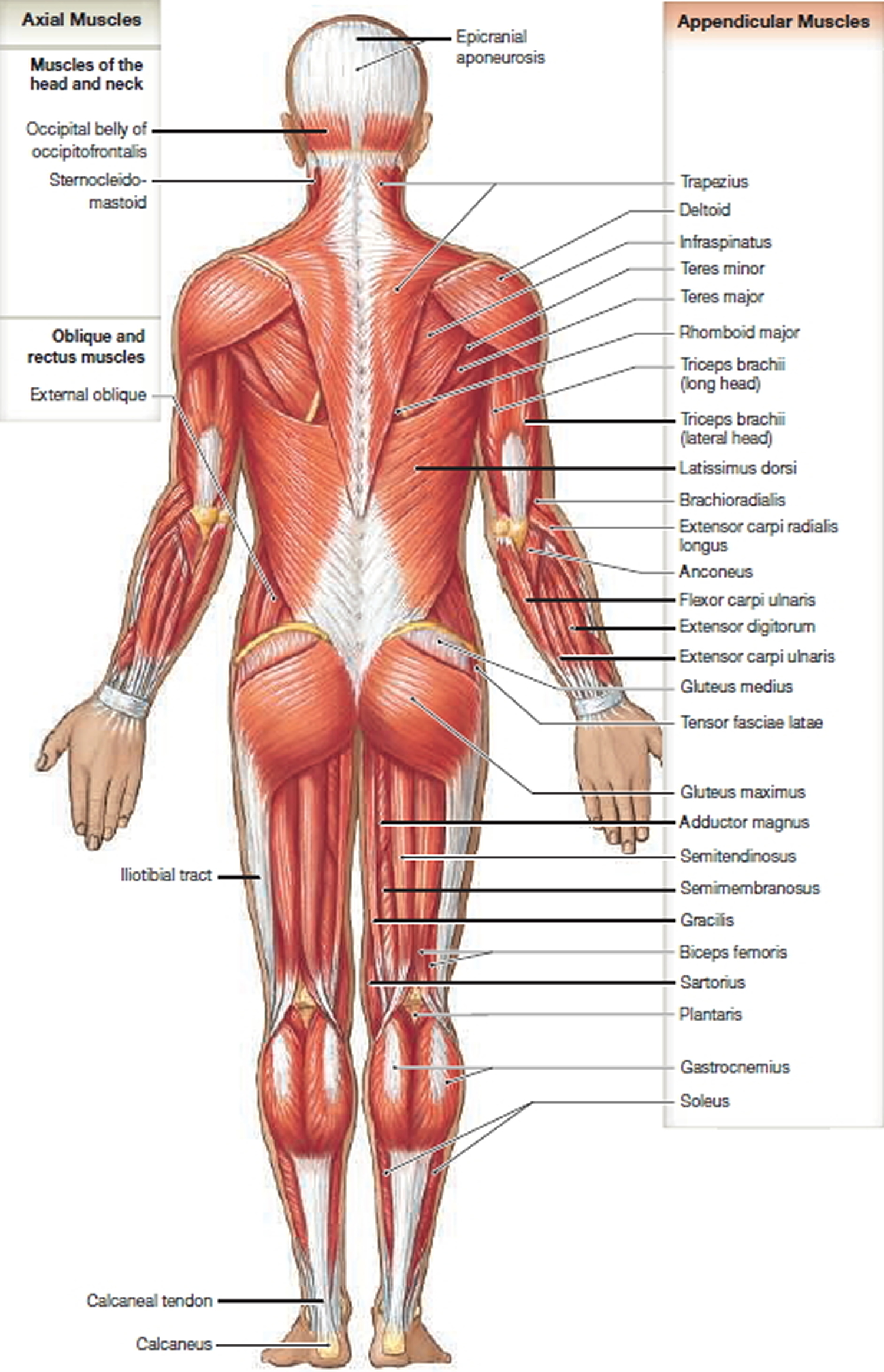 muscle anatomy - back view