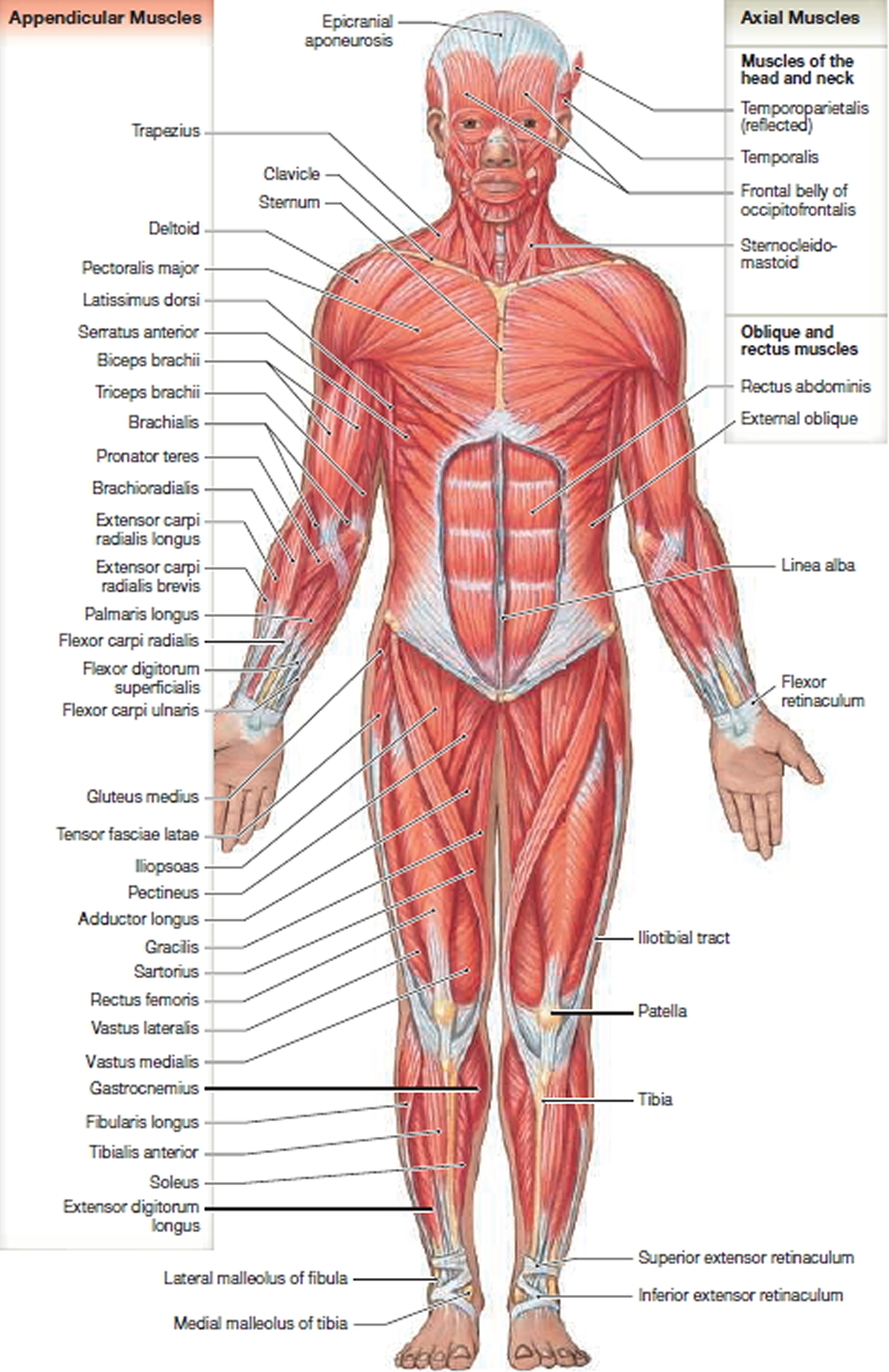 Muscle Anatomy Skeletal Muscles Groin Muscles Calf Muscles