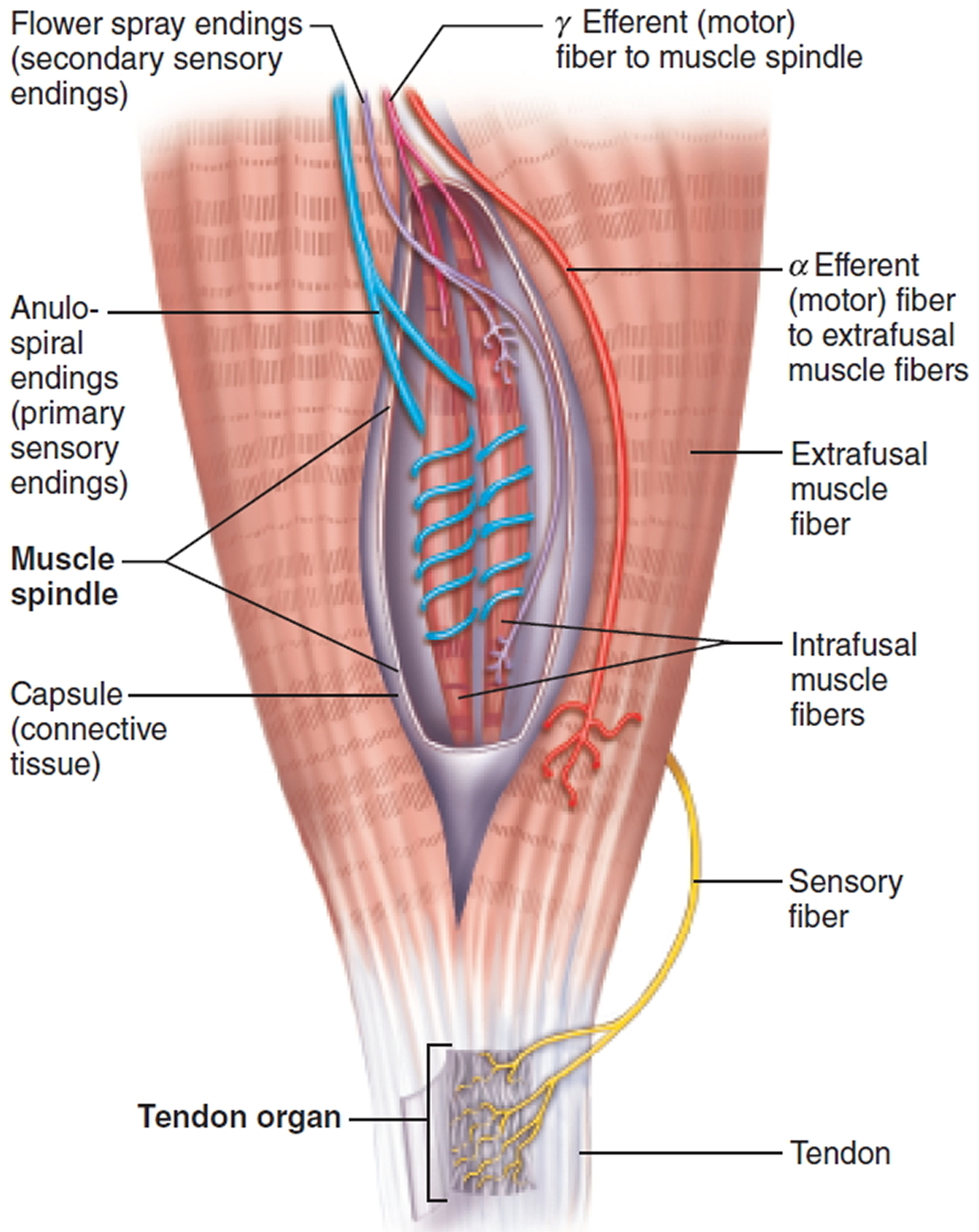 muscle spindle proprioceptors